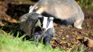 Brian May to urge Parliament to halt badger cull