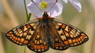 Europe's rarest butterfly discovered in Cumbria