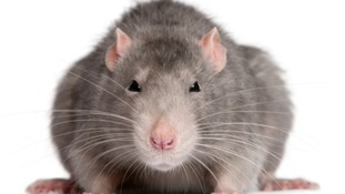 Two ft 'superrats' immune to pesticides invade town