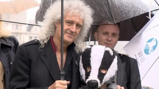 Brian May calls on Parliament to halt badger cull