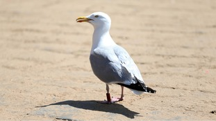 A sea gull on the beach, this is not the attacker.