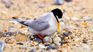 The UK's largest breeding colony of Little Terns is at Sea Palling.