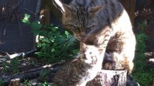 A rare Scottish wildcat kitten with mum