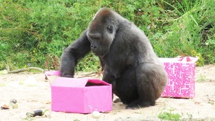 Gorilla celebrates 40th birthday with edible gifts & vegetable cake