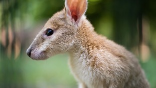 The wallaby escaped from a nearby animal farm