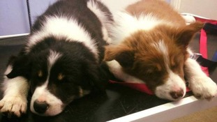 Adorable Border collie pups Thornton and Neo were stolen from their owner's garden in Gloucestershire