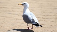 Dive-bombing seagulls driven mad by 'M&M-style' flying ants