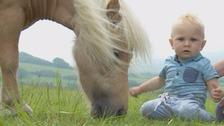 Shetland pony and baby