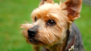 Yorkshire Terrier - editorial image