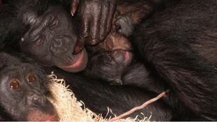 Twycross Zoo experts to lead Ape heart disease study