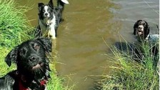 Sweep, Shep and Charlie take a dip in their local pond