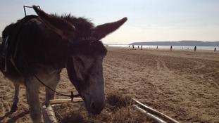 Donkey in Weston