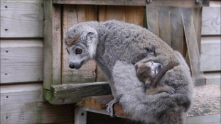 Lakobe will still clinging to mum for around 4 months