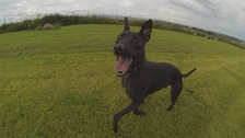 Rocky the lurcher-cross.