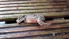 A chubby toad had to be rescued from a garden decking in Norwich as it was stuck face down.