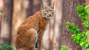 Return of lynx to Kielder and Scottish Borders