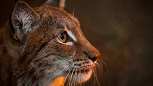 What is a Eurasian lynx?