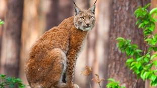 Return of lynx to Kielder and Scottish Borders