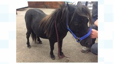 Injured Shetland pony found abandoned in coal yard
