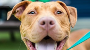 'Dangerous Dogs Act flawed' warns Battersea Dogs and Cats Home