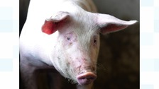 A cyclist has suffered facial injuries after riding into a pig