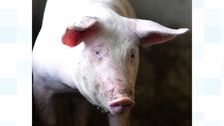 Cyclist suffers facial injuries after riding into pig