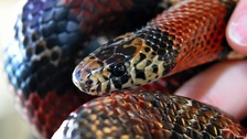 Experts are trying to determine whether the creature was a Mexican Kingsnake.