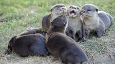 Nottinghamshire Wildlife Trust have been working to help otters return to their former home since the late 1990s.