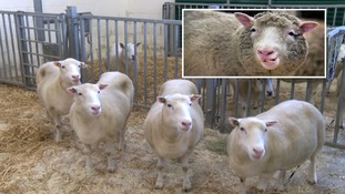 Meet Debbie, Denise, Dianna and Daisy - Dolly the Sheep's four 'siblings'