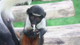 Endangered baby monkey born at Twycross Zoo