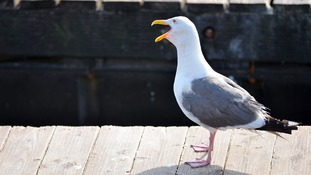 'Humans to blame' for seagulls' aggression