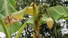 Couple celebrate surprise banana plant growth