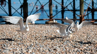 Seagulls fight over scraps of food on a beach.