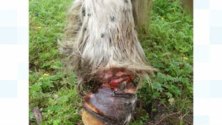 Pony leg