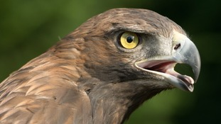Golden eagle chicks to be introduced in Borders