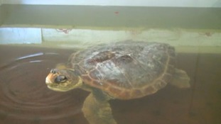 Olivia the turtle in her special pool at the GSCPA