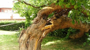 Efforts to save 300-year-old tree in Caversham Court