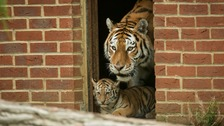 Tiger triplets emerge from den at Marwell for first time