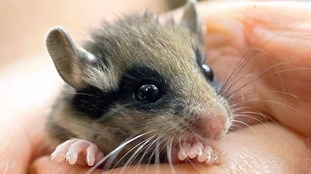 Urgent appeal to protect dormice in Sussex