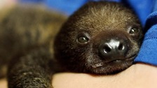 Hand-reared baby sloth is picture of health