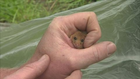P-DORMOUSE_SURVEY