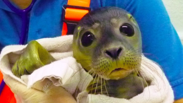 Bathtub Seal Released Back Into The Wild