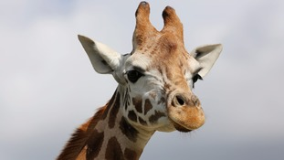 Valentino, the proud father of the new baby giraffe
