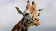 Endangered giraffe born in Kent animal park