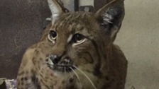 Escaped lynx on the run from the zoo finally recaptured