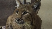 A lynx who escaped from Dartmoor zoo almost a month ago has finally been recaptured.