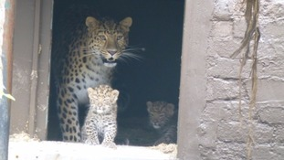 Twycross Zoo celebrates birth of rare Amur leopard cubs