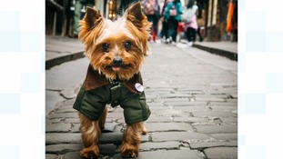 Yorkie in the Shambles in the historic city of York.