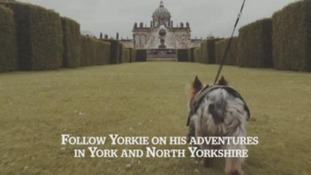 Yorkie the terrier hosts travelogue