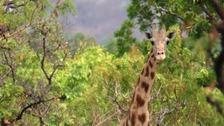 Kordofan giraffe